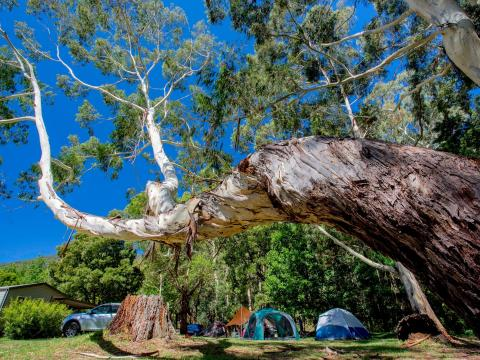 BIG4 Yarra Valley Park Lane Holiday Park - Interesting tree